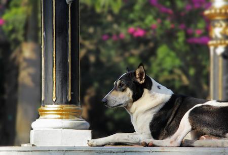 vigilant: Alert and vigilant black and white dog on watch duty. Stock Photo