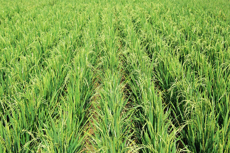 require: Ripening hybrid rice paddy plants, which do not require irrigation by flooding.