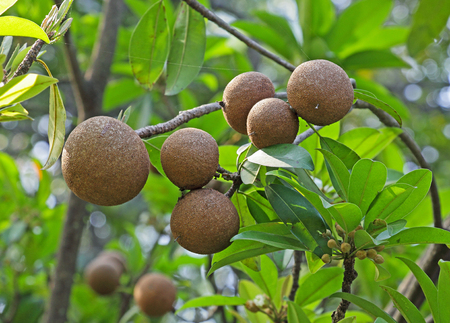 exceptionally: Ripening Sapodilla fruits in an organic garden. Other names - Zapota, Chikkoo  Sapota. Sapodilla is a tropical, evergreen tree fruit berry with exceptionally sweet and malty flavor.