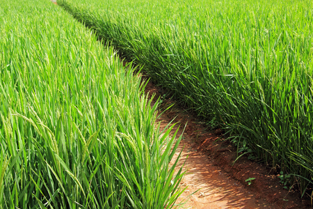 ripening: Ripening rice paddy plants in the tropical region of India. Stock Photo
