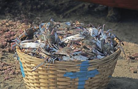 blue swimmer crab: Cane basket full of freshly caught blue crabs. Scientific name Portunus Pelagicus.