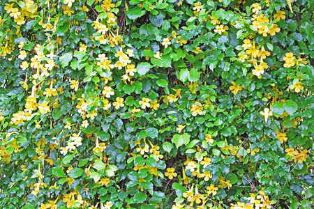 blooms: Background of vine with yellow blooms Stock Photo
