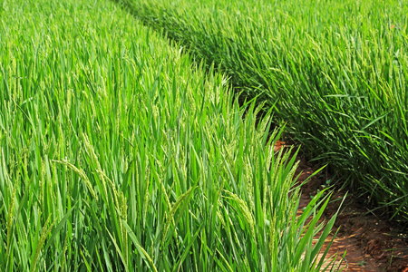 maturing: Maturing rice paddy plants in India Stock Photo