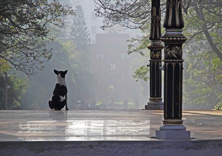 vigilant: Alert and vigilant black and white dog on watch duty on a misty morning.