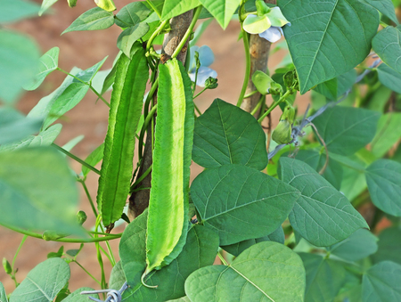 garden bean: Fresh winged beans in vegetable garden in India. Also called Goa bean and four angled bean. All parts of the plant are edible.