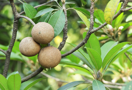 exceptionally: Ripening Sapodilla fruits in an organic garden. Other names - Zapota, Chikkoo, Sapota. Sapodilla is a tropical, evergreen tree fruit (berry) with exceptionally sweet and malty flavor.