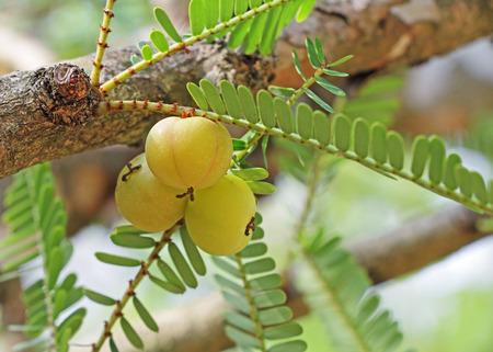 formulation: Indian gooseberry is an essential ingredient of the traditional Indian Ayurvedic (herbal) medicines. Indian gooseberry (Phyllanthus emblica) is also called aamla in Hindi. Stock Photo