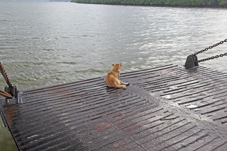 ferry boat: Lonely, fearless dog sitting on the edge of the ramp of ferry boat while crossing river