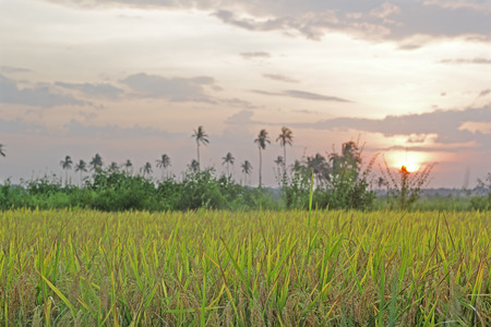 setting  sun: Fully ripe rice plants, ready to harvest, against setting sun from Goa, India Stock Photo