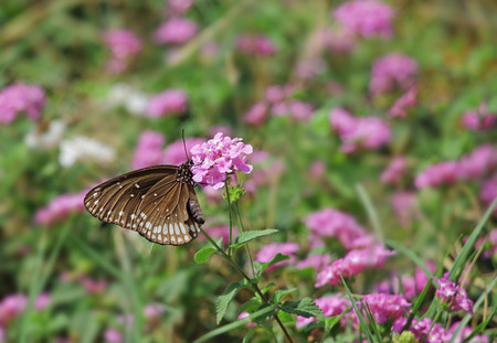 migratory: Common crow butterfly, Euploea Core, feeding on pink flowers. Dark brown butterfly with white spots on wing and body is a popular migratory butterfly. Chemicals in body make them inedible to predators Stock Photo