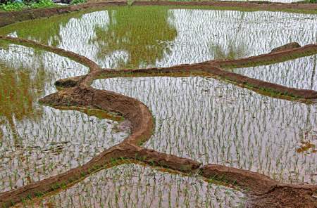Terraced rice field with freshly planted saplings and flooded with water  in Goa, India. Zdjęcie Seryjne