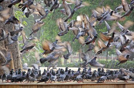 palomas volando: Bandada de palomas volando en frenes� mientras que otro reba�o de pie en la confusi�n