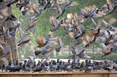 palomas volando: Flock of pigeons flying in frenzy while another flock standing in confusion