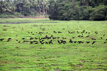 grass area: Flock of black egrets searching food in marshy grass area of Batim lake bed in Goa, India.