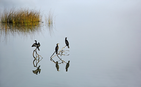 Three cormorants, bird family of Phalacrocoracidae, sitting on dead branches in a tranquil lake, waiting to dive into the water for catching fish.