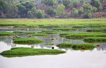 Tranquil and beautiful scene of nature reserve of lake and wetlands with flocks of whistling ducks and other birds feeding near Narve in Goa, India