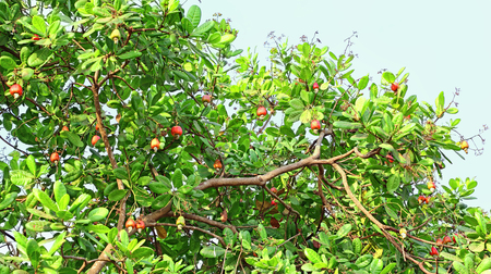 Branch of cashew nut tree with ripe nuts from Goa, India. Cashew pods are ingredients of recipes. Popular heritage drink, feni, is distilled from cashew apple pulp. Фото со стока