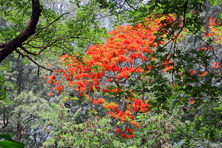 in full bloom: Lone flame of the forest tree in full bloom among thick vegetation of varied trees in rain forest in Goa, India. The flowers are used in Lord Shiva worship and fire ritual In India.