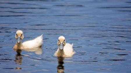 baby ducks: Baby Ducks Swinging In A Pond Stock Photo