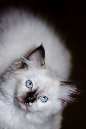 Ragdoll Kitten Фото со стока