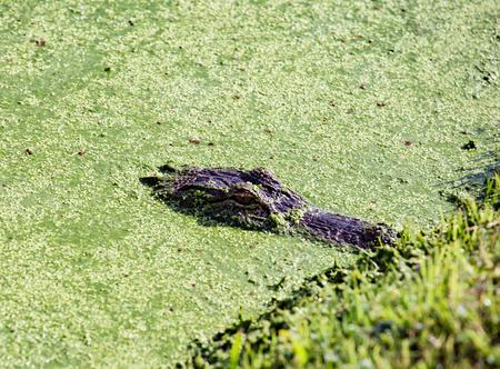 Gator Blending in with Surroundings