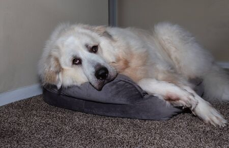 Great Pyrenees laying on Dog Bed Foto de archivo