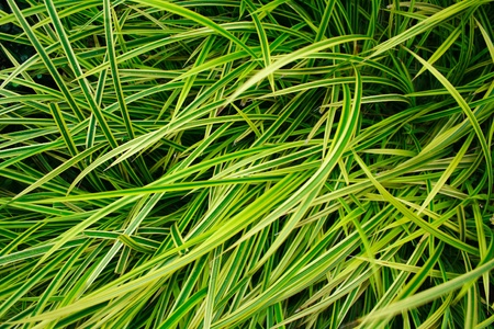 Beautiful leaves of spider plant photo