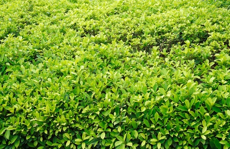 The beautiful green Ficus altissima Blume or council tree field photo