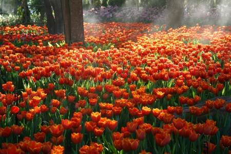 Orange tulip field with sunbeam