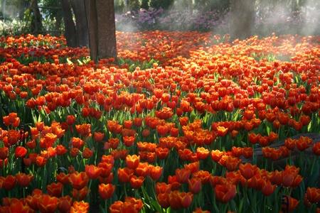 natural landscape: Orange tulip field with sunbeam