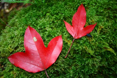 Two red maple leaves on green moss photo