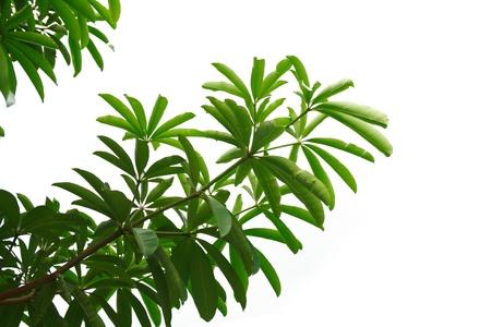Alstonia scholaris (or Blackboard tree, Indian devil tree, Ditabark, Milkwood pine) leaves isolated on white sky photo