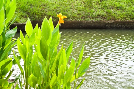 Canna Lily or Indian shot at the edge of canal photo