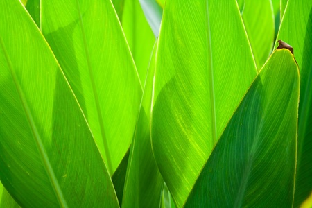 Leaves of Canna Lily (or Indian shot)