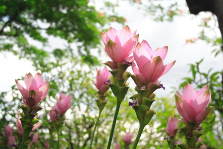 Pink flowers of Curcuma Alismatifolia or Siam Tulip or Summer Tulip (Chiang Mai Pink) photo
