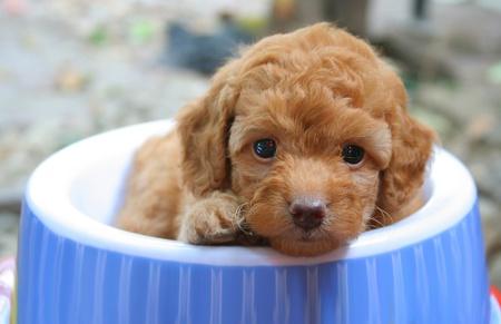 Un lindo caniche toy cachorro sentado en su tazón de fuente de alimentación