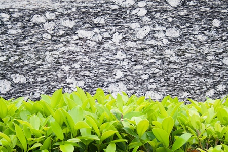 Closeup shot of modern marble wall and Ficus altissima Blume photo