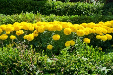 Tagetes erecta, the Mexican marigold, also called Aztec marigold, African marigold photo
