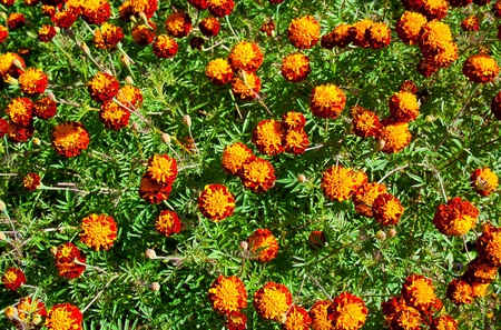 The French marigold  Tagetes patula  is a species in the daisy family  Asteraceae  photo