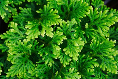 Top view of Selaginella tamariscina  P  Beauv   Spring