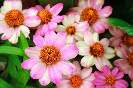 Beautiful Zinnia violacea Cav  in a garden photo