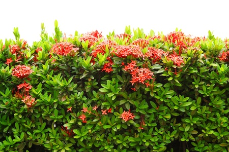 Red Ixora coccinea  or Jungle Geranium, Flame of the Woods, and Jungle Flame  isolated on white background photo