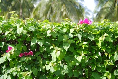 Closeup shot of beautiful Bougainvillea hybrida or paper flower plant photo