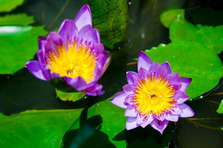 Blurred lotus and focus lotus in a pond photo
