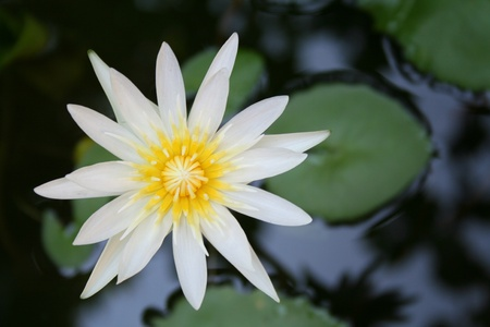 Top View of a White Lotus