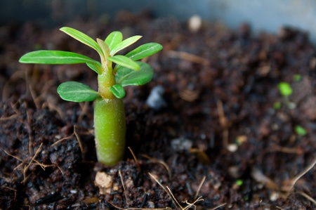 Young Adenium Obesum Stock Photo - 12579326