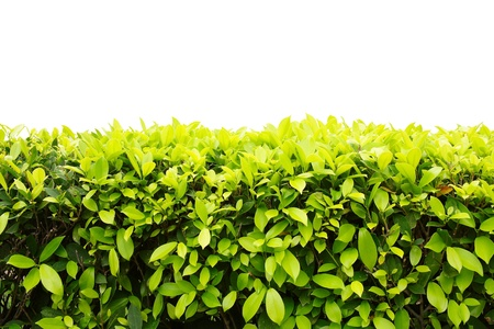 Landscape of Ficus altissima Blume or council tree isolated on white background Stock Photo