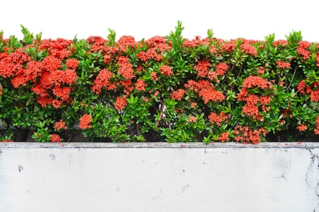 Landscape view of Red Ixora coccinea  or Jungle Geranium, Flame of the Woods, and Jungle Flame  isolated on white background photo