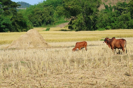 dry cow: Countryside landscape view of Thai agriculture