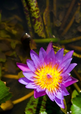 The purple lotus in the pond photo